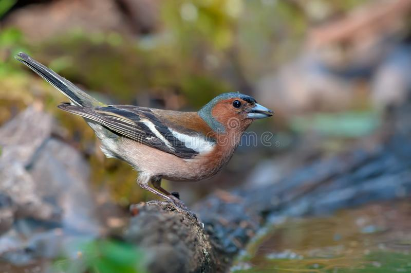 Bright Male Chaffinch posing near a water pond in forest royalty free stock images