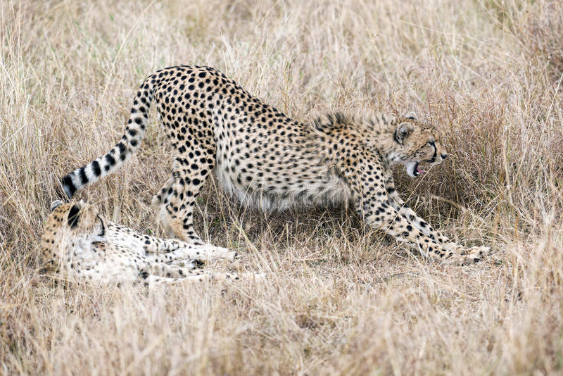 Male cheetahs royalty free stock images