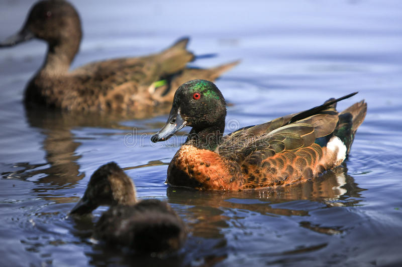 Download Male Chestnut Teal Duck Wading. Stock Photo - Image: 21830738