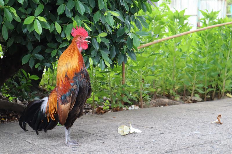 The male chicken is singing. It stands upright and looks elegant stock photo