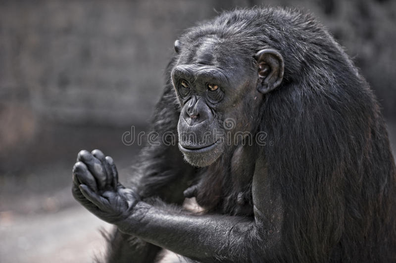 Download Male chimpanzee stock photo. Image of request, requesting - 16555678