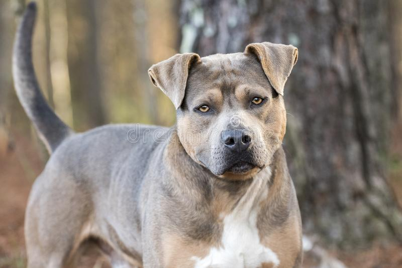 Pit Bull Terrier dog wagging tail stock photo