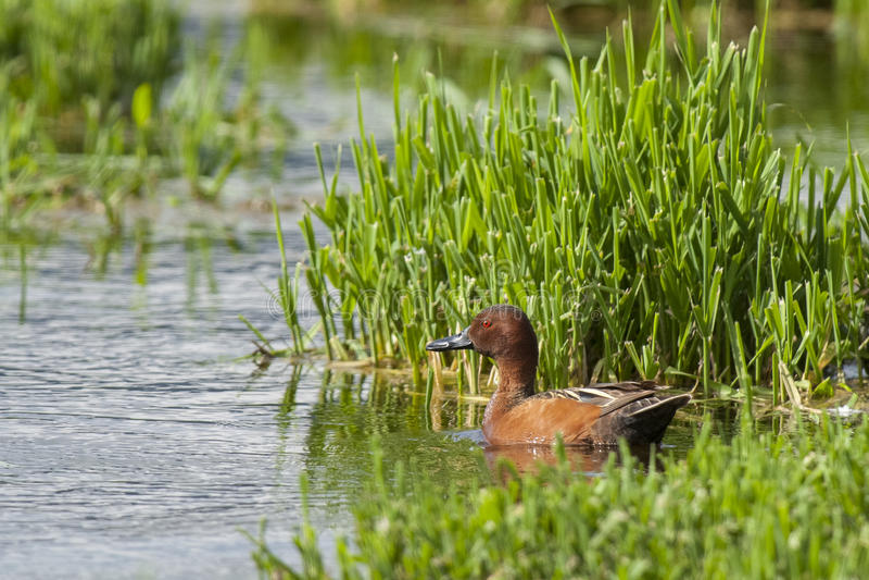 Male CInnamon Teal. A male Cinnamon Teal swims in marsh waters near Hauser Lake, Idaho royalty free stock image