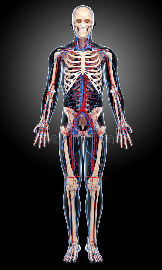 Male Circulatory System In Black Royalty Free Stock Photo
