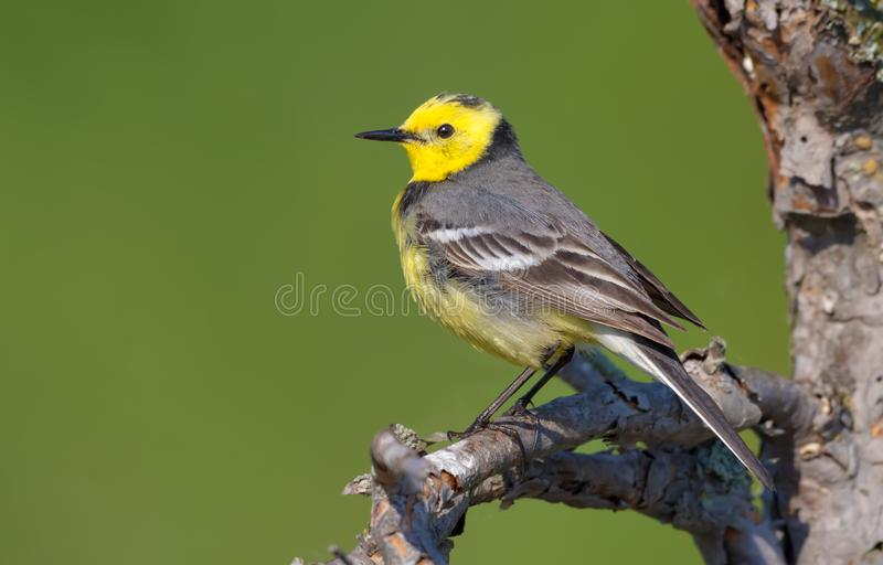 Male Citrine wagtail in full breeding plumage posing on small tree branch. Male Citrine wagtail in full breeding plumage posing on dry stick royalty free stock photo