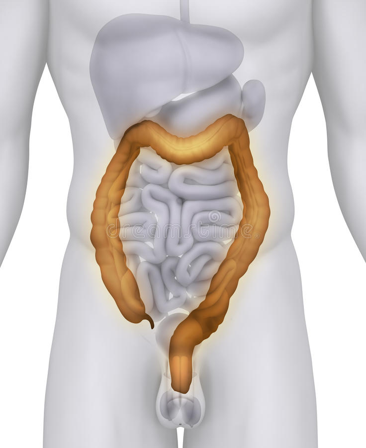 Male COLON anatomy stock illustration