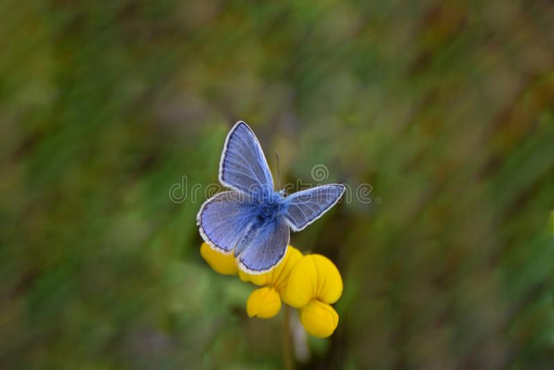 Male Common Blue Butterfly Polyommatus icarus on Birds Foot Trefoil flowers. A common blue butterfly  on  yellow Birds Foot Trefoil flowers in a wild flower royalty free stock photography