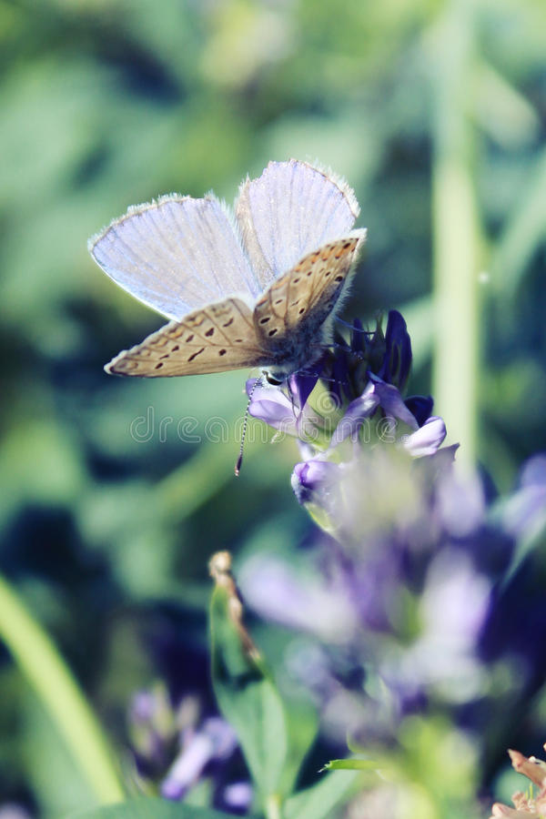 A male common blue butterfly with wings open on flower stock image