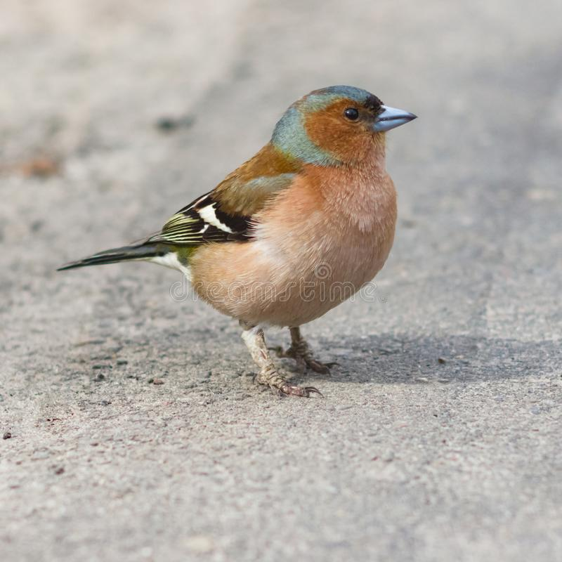 Free Male Common Chaffinch Fringilla Coelebs, Close-up Portrait On Road, Selective Focus, Shallow DOF Stock Images - 106369254