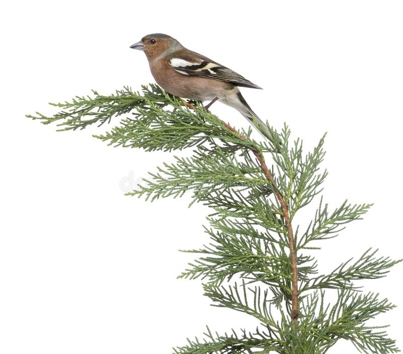 Male Common Chaffinch - Fringilla coelebs perched on a green branch royalty free stock photography