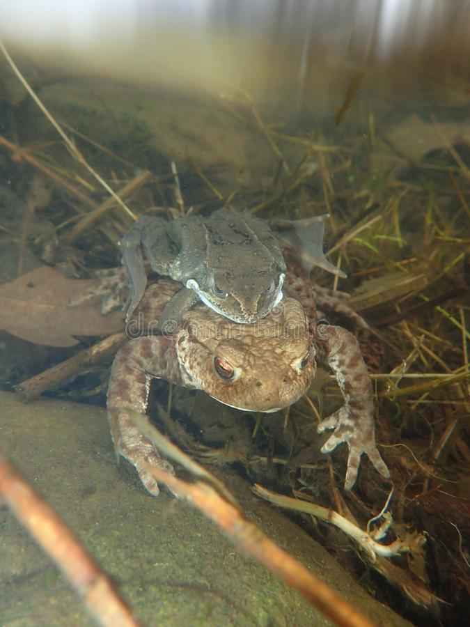 Male common frog, Rana temporaria, with female common toad, Bufo bufo. Underwater, Scotland. Failed courtship behaviour of a male European or common frog, Rana stock images