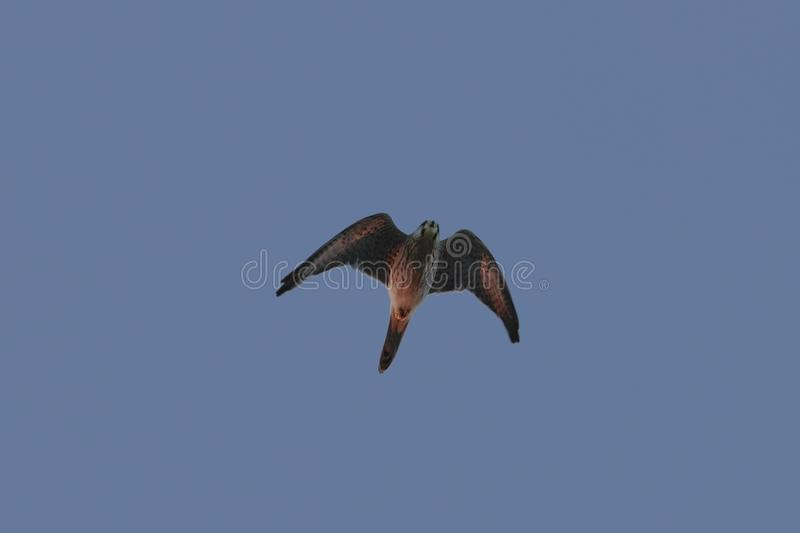 Male Common kestrel Falco tinnunculus. On its migratory flight in the evening, lit by the last light of the setting sun. Buskett, Malta, Mediterranean royalty free stock photos