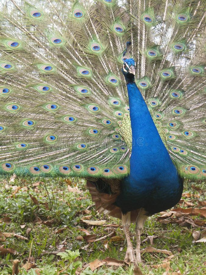 Male Common peacock Pavo cristatus displaying feathers stock image