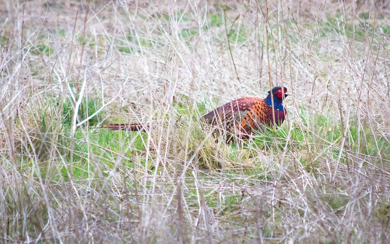 Male common pheasant Phasianus colchicus. A male common pheasant Phasianus colchicus searches for food among tall grass in Shropshire, England royalty free stock photo