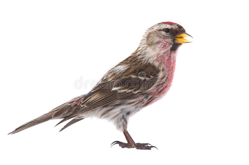 Male Common Redpoll Acanthis flammea. Isolated on white background royalty free stock photography