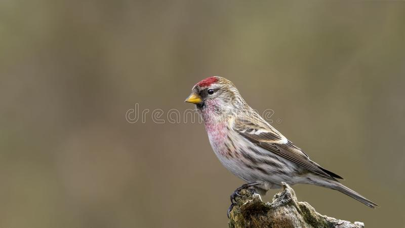 Acanthis flammea cabaret. Male Common Redpoll. Acanthis flammea. royalty free stock photos
