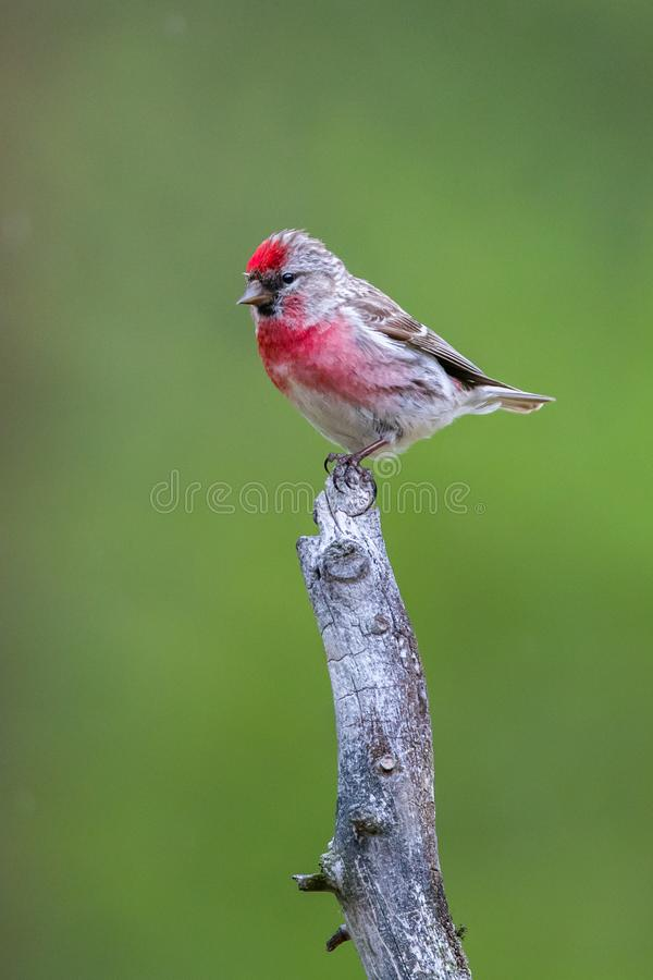 Male Common Redpoll. Adult Male Common Redpoll Preched On Top Of Old Tree Snag, Photographed In Pasvik Nature Reserve, Norway stock photos