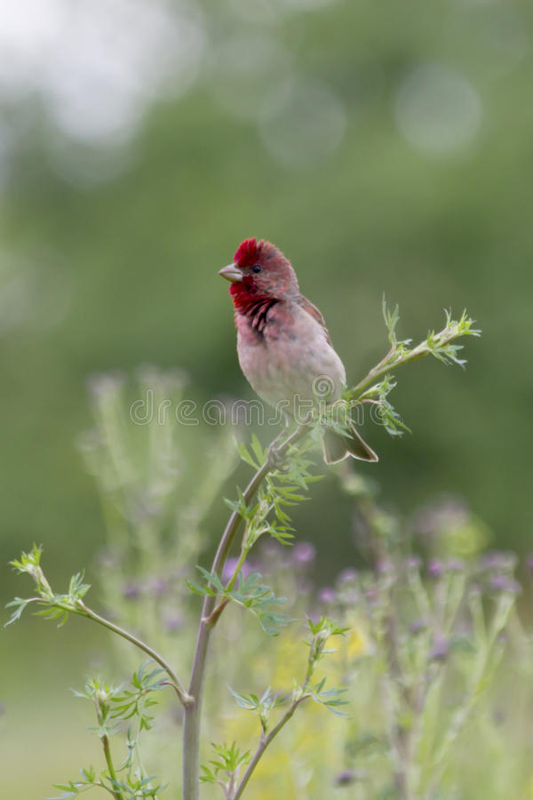 The male Common Rosefinch singing on a branch in the meadow grass. royalty free stock photos