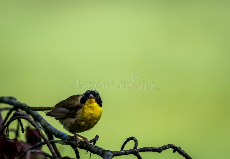 Male Common Yellowthroat Warbler perched on tree after the rain royalty free stock images