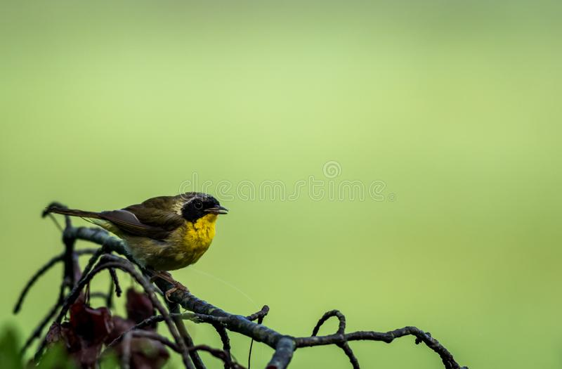 Male Common Yellowthroat Warbler perched on tree after the rain royalty free stock photos