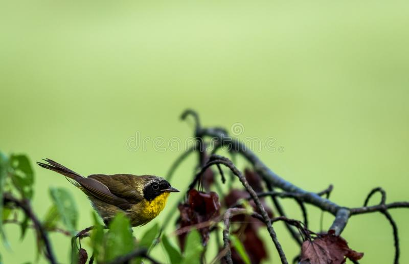 Male Common Yellowthroat Warbler perched on tree after the rain stock photos