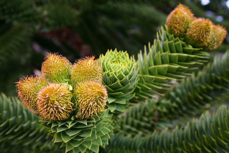 Male cones of the Araucaria araucana tree stock photos