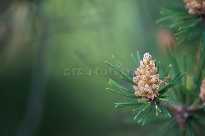 Male cones of Scots pine stock photos