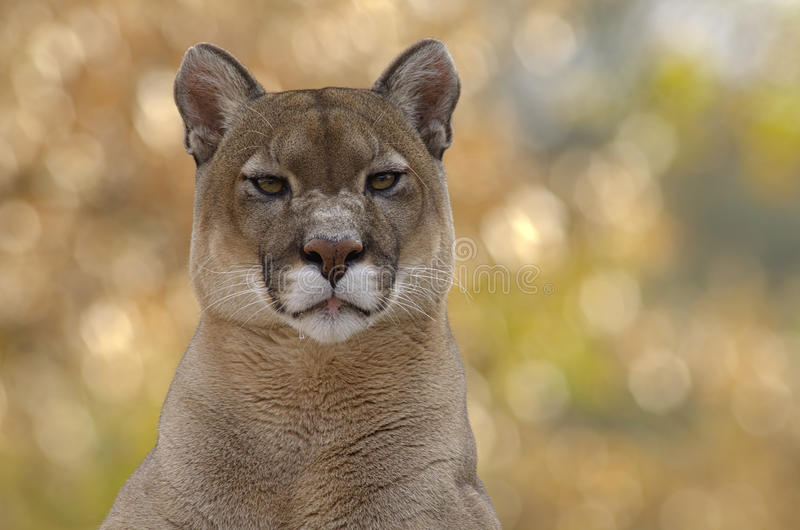 Cougar on line