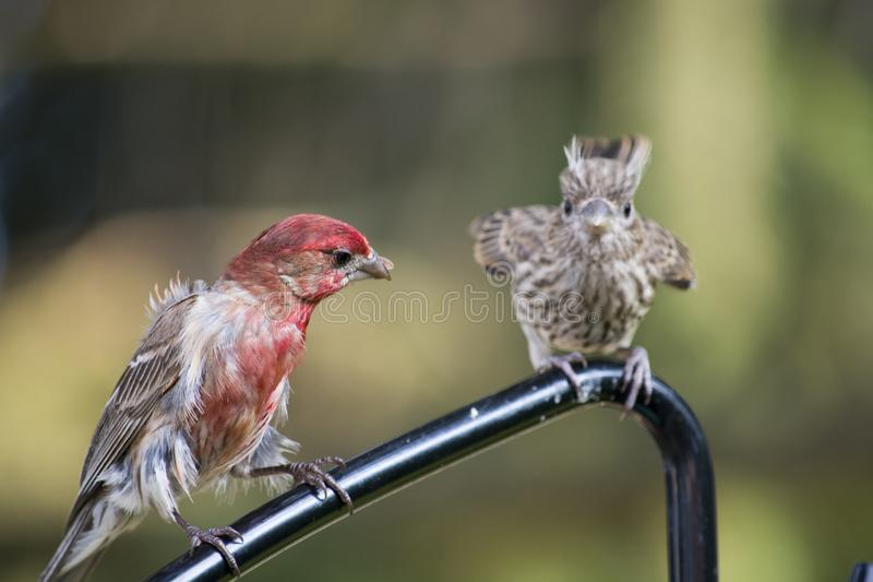Male cross beak with young. A male cross beak on a feeder hanger with its offspring begging for food beside it royalty free stock image