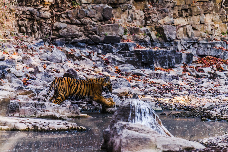 Male Cub of Tigress Noor royalty free stock image