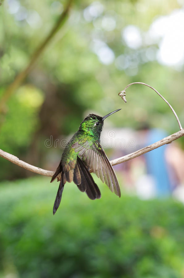 Free Male Cuban Emerald Hummingbird Stock Photo - 48521740