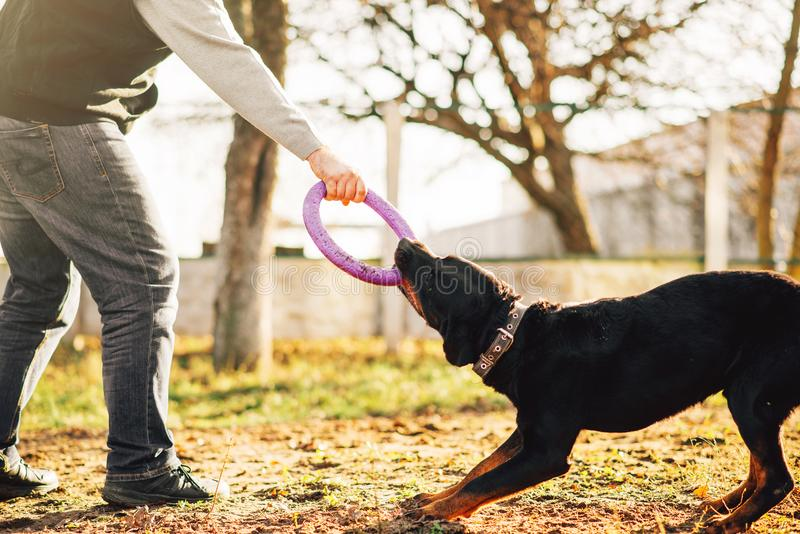 Male cynologist work with trained police dog. Training outdoor. Owner with his obedient pet outside, bloodhound domestic animal stock photography