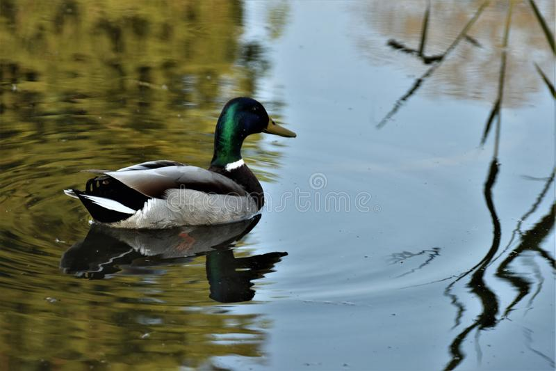 The male of a dabbling duck, the mallard is swimming in the pond. royalty free stock photos