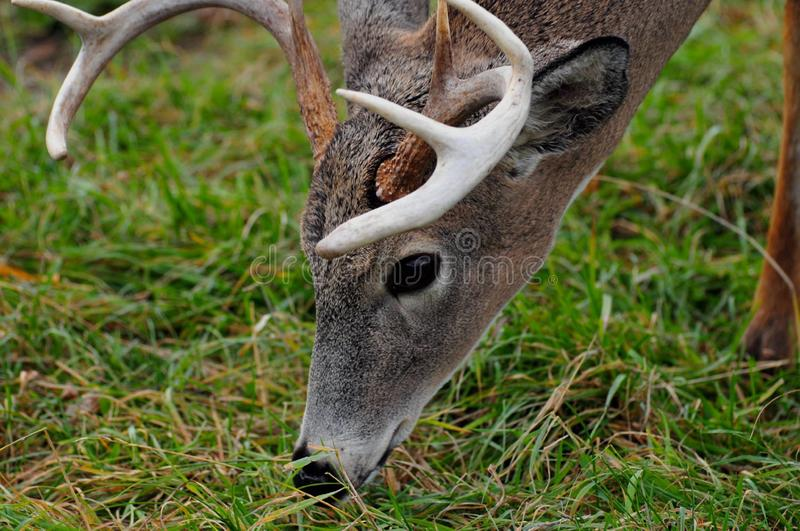 Male deer closeup stock image