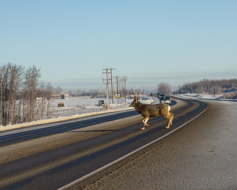 Male Deer Crossing road royalty free stock photos