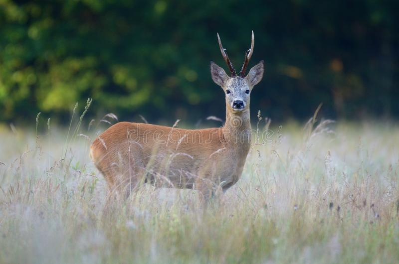 Roe deer in a natuural environment. stock photography