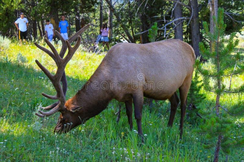 Male deer grazing in Yellowstone National Park. Adult, alert, animal, antler, autumn, background, big, brown, buck, cervus, cute, elaphus, elk, field, forest royalty free stock photo