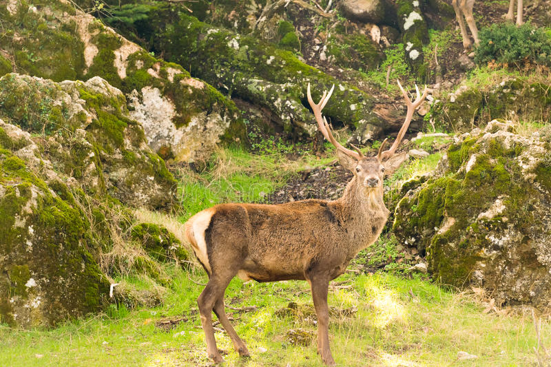 Male deer portrait at Parnitha mountain in Greece against a beautiful background out in the nature. stock images