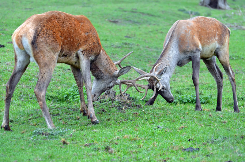Male deers fighting royalty free stock images