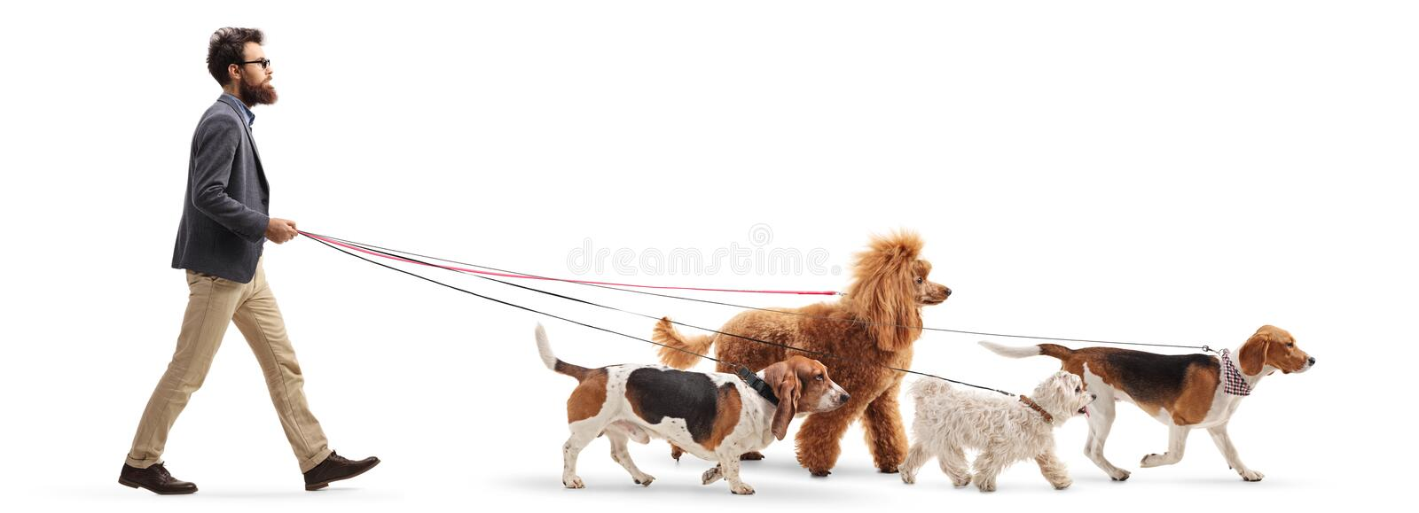 Male dog walker walking four different dogs royalty free stock photography