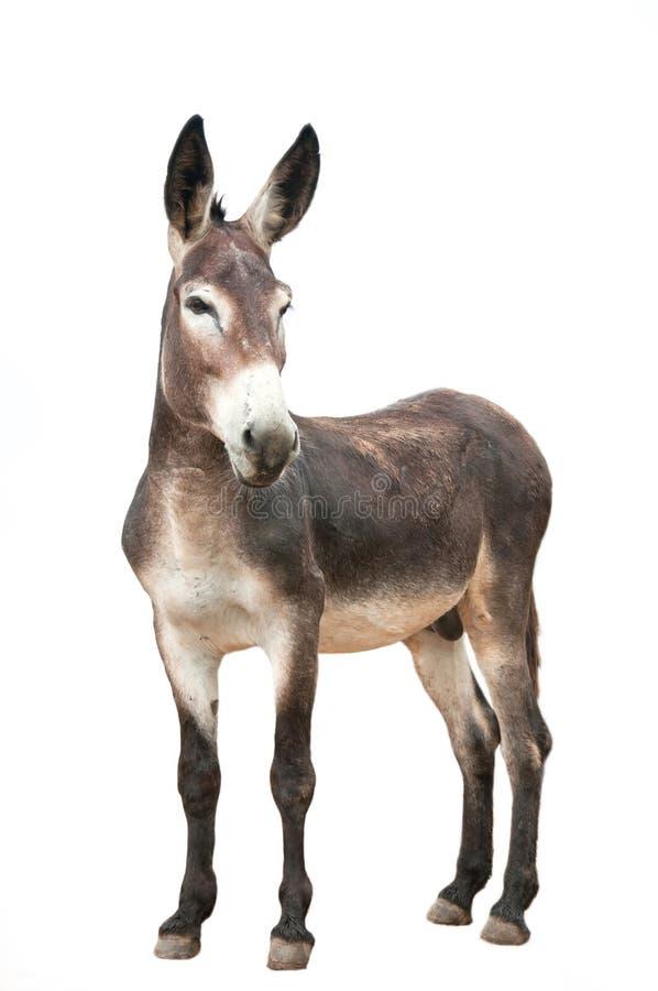 Free Male Donkey On White Background Stock Image - 20938361