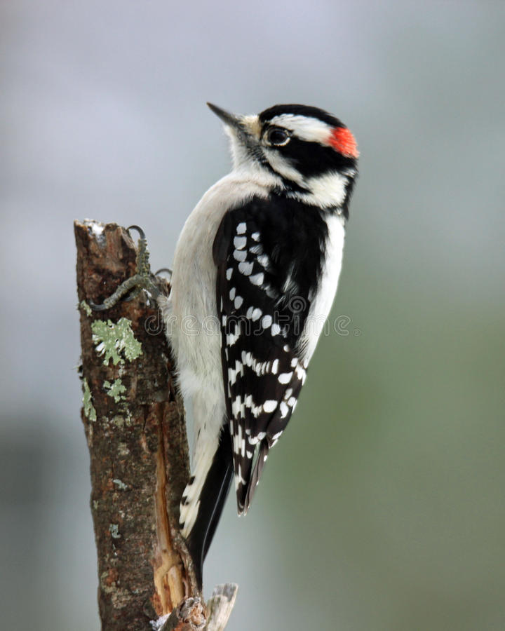 Free Male Downy Woodpecker Royalty Free Stock Photo - 47412755
