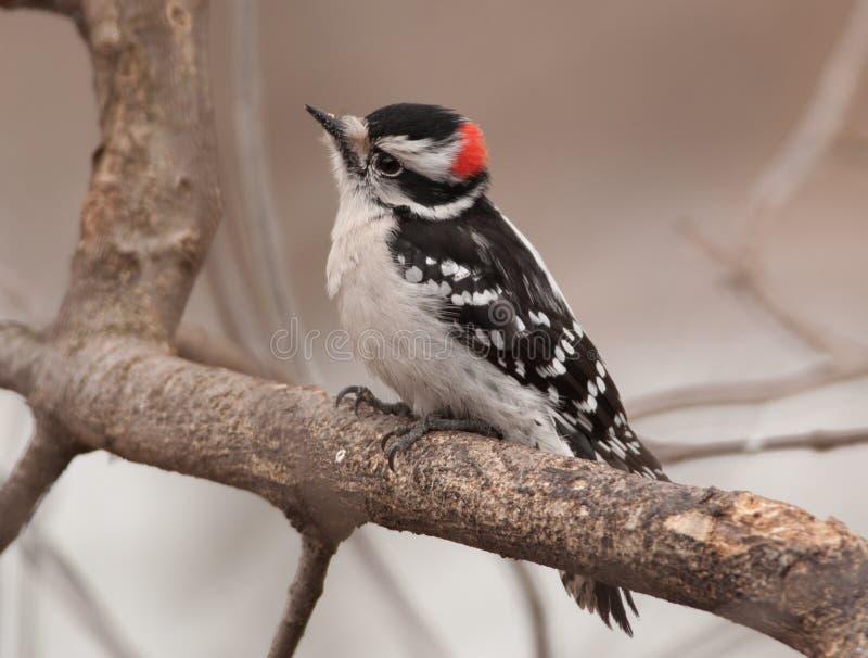 Male Downy Woodpecker stock image