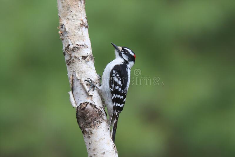 Male Downy Woodpecker on a Birch Branch royalty free stock photography
