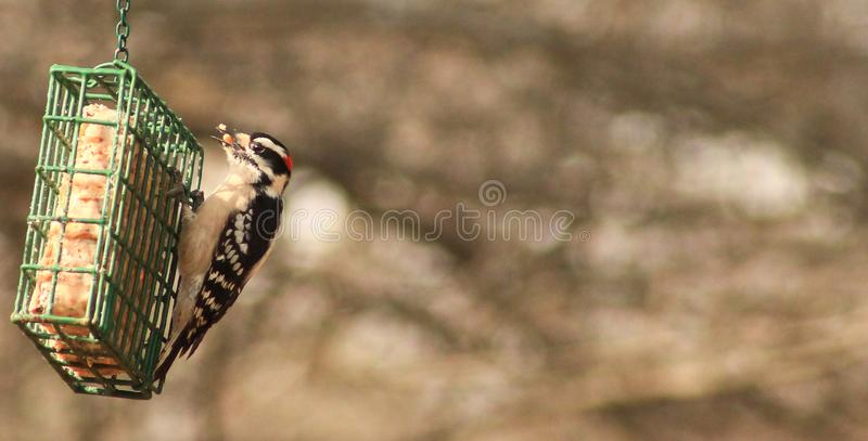 Male Downy Woodpecker feeds stock photography