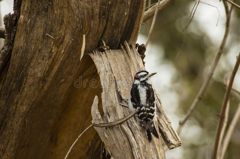 Male Downy Woodpecker. This little bird with black wings with speckles/stripes, white back, and black and white striped face with red spot at the back of the stock images