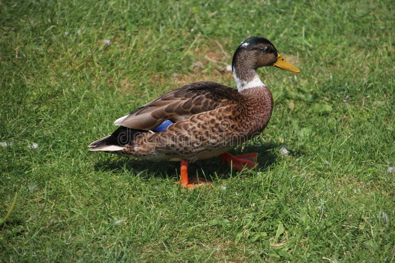 Male duck on the grass field in park Hitland in the Netherlands. stock photo