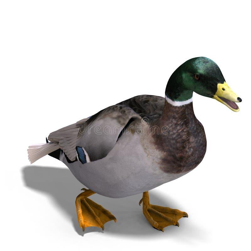 Free Male Duck Mallard Stock Photo - 11249810