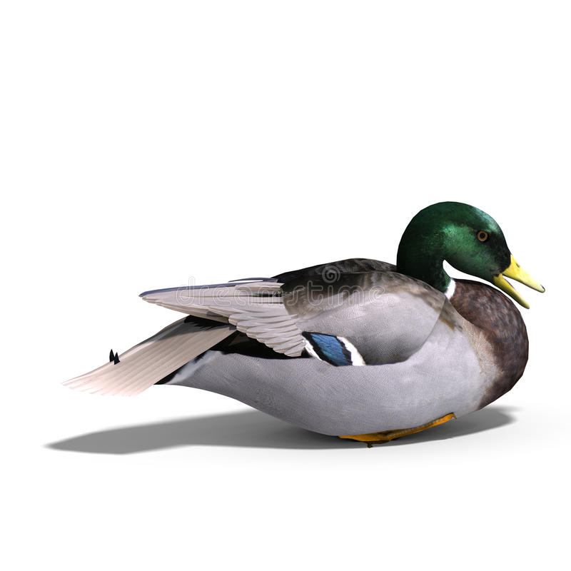 Male duck mallard sitting. 3D rendering with clipping path and shadow over white vector illustration