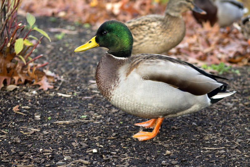 Download Male Duck posing stock photo. Image of animal, up, colorful - 35307618